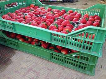 fragole_Coop_Sole